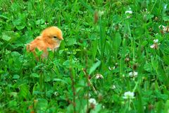 Цыпленок младенца в траве стоковое фото