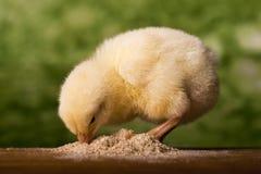 цыпленок младенца имея еду стоковое фото rf