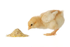 цыпленок младенца имея еду Стоковые Фотографии RF