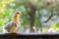 Цыпленок младенца стоковые изображения