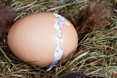 цыпленок насиживая гнездй Стоковые Фотографии RF