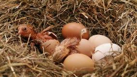 Цыпленок 2 насиживая от яя в гнезде сена акции видеоматериалы
