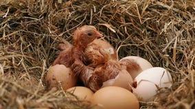 Цыпленок 2 насиживая от яя сток-видео