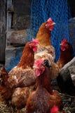 Цыпленок на бдительности Стоковое Изображение