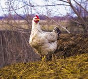 Цыпленок на dunghill Цыплята стоковые изображения