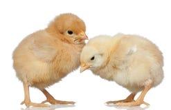 цыпленок немногая желтый цвет 2 стоковое изображение rf