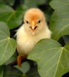 цыпленок немногая желтый цвет Стоковая Фотография RF