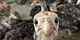 цыпленок немногая решетка фермы цыпленка младенца сверх стоковая фотография