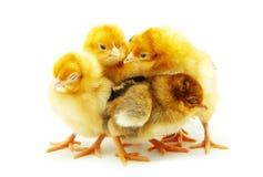 цыпленок немногая стоковые изображения rf