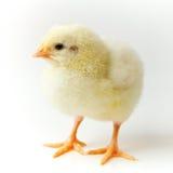 цыпленок немногая Стоковое Изображение RF