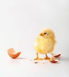 цыпленок немногая Стоковое Изображение