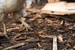 Цыпленок ног Разводить птиц Деревянная опилк Стоковое Изображение