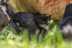 Цыпленок около курицы на своей первой прогулке снаружи Стоковое Фото