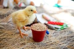 Цыпленок около фуража, на медицине предпосылки для культивирования Стоковые Фото
