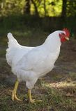 цыпленок освобождает ряд Стоковая Фотография