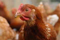 цыпленок освобождает ряд Стоковая Фотография RF