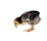 цыпленок пасха немногая симпатичное Стоковая Фотография
