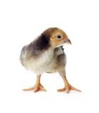 цыпленок пасха немногая симпатичное Стоковые Изображения RF