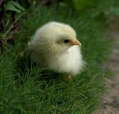 Цыпленок Первая прогулка стоковое фото