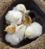 цыпленок пестротканый Стоковая Фотография