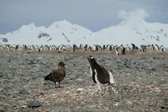 Цыпленок пингвина пингвина Антарктики Gentoo защищая от поморникового стоковые изображения rf