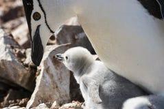 Цыпленок пингвина Chinstrap подавая Стоковые Изображения RF