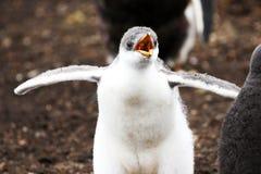 Цыпленок пингвина Gentoo смотря прищурясь для еды Фолклендские острова Небольшая головная нерезкость движения Стоковое Фото