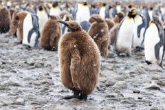 Цыпленок пингвина Kng в fornt группы в составе пингвины Стоковые Фото