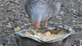 Цыпленок подавая в курятнике видеоматериал