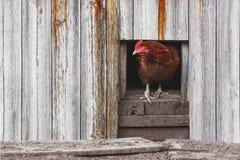 Цыпленок смотря прищурясь вне от курятника Сельская птицеферма Земледелие и агробизнес стоковое фото rf