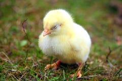 цыпленок сонный Стоковая Фотография