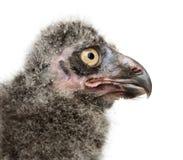 Цыпленок сыча Snowy, scandiacus Bubo стоковая фотография rf