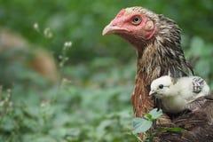 Цыпленок с цыпленоками Стоковое Фото