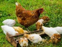 Цыпленок с цыплятами ест питание от фидера стоковые изображения rf