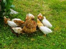 Цыпленок с цыплятами ест питание от фидера стоковая фотография rf