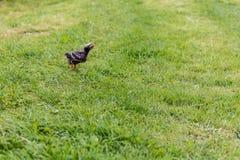 Цыпленок Турции Стоковое фото RF