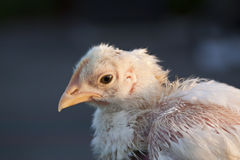 цыпленок удара вверх Стоковое Фото