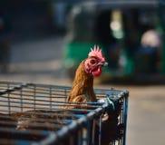 Цыпленок хлопает вверх от клетки - фотоснимка запаса Стоковое Изображение RF