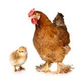 цыпленок цыпленока стоковые изображения
