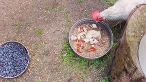 Цыпленок человека подавая сток-видео