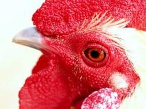 цыпленок 01 Стоковое Фото