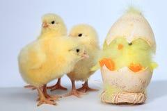 цыпленок 3 младенца Стоковые Фото