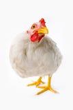 цыпленок Стоковые Изображения
