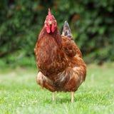 цыпленок biofarm стоковые изображения