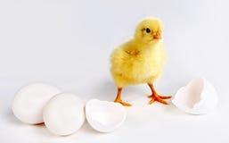цыпленок newborn Стоковые Фотографии RF