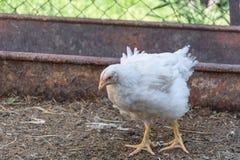 Цыплята бройлера на сельской птицеферме стоковое фото rf