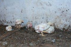 Цыплята бройлера стоковое фото rf