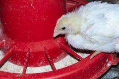 Цыплята бройлера стоковая фотография rf