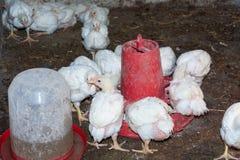 Цыплята бройлера стоковое изображение rf