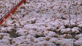 Цыплята бройлеров на ферме видеоматериал